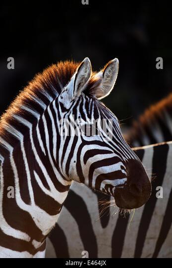 Common or Plains zebra (Equus quagga burchellii) Masai Mara National Reserve, Kenya, September - Stock Image
