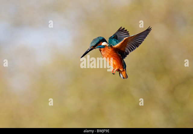 kingfisher hispanic singles There are roughly 90 species of kingfisher all have large heads, long, sharp, pointed bills, short legs, and stubby tails most species have bright plumage with little differences between the sexes.