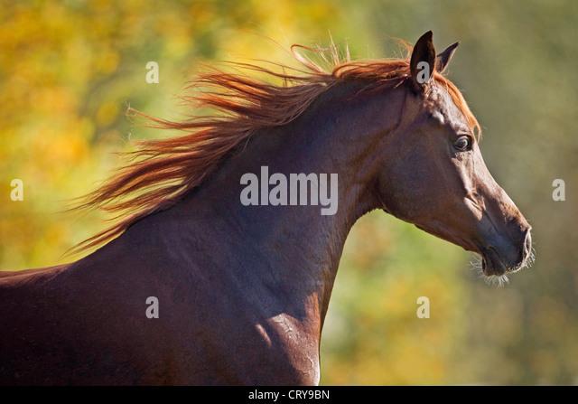 Arabian Arab Horse Portrait stallion Karim - Stock Image
