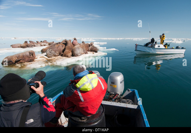 Tourists photographing a group of walrus (Odobenus rosmarus) resting, Arctic Kingdom expedition, Foxe Basin, Nunavut, - Stock Image