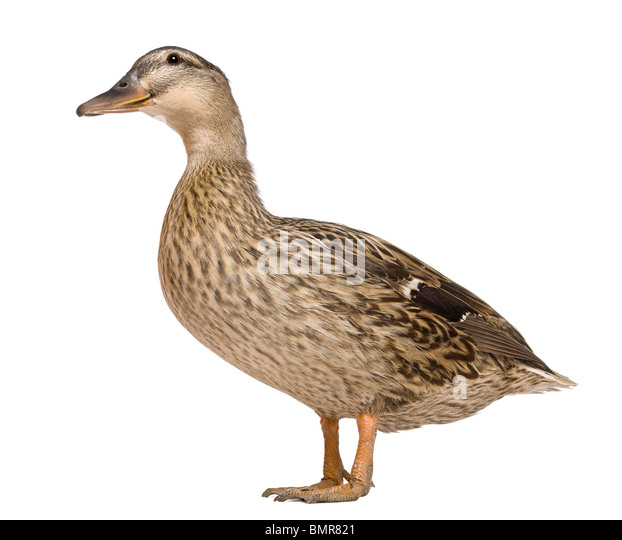 Female Mallard, 1 year old, standing in front of white background - Stock Image