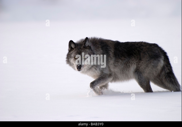 Gray wolf in snow - Stock Image