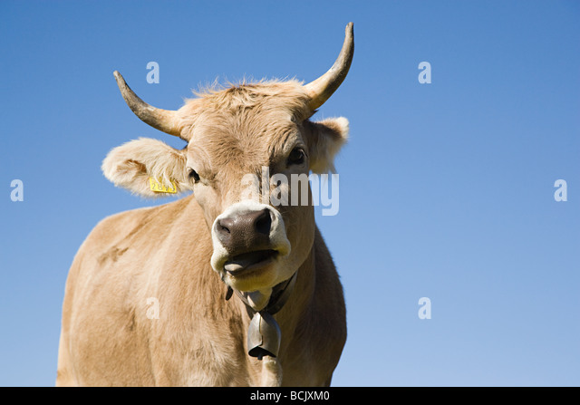 Horned cow looking at camera - Stock Image