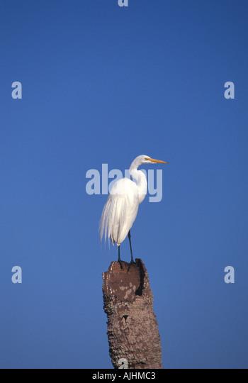 Birds great egret standing atop dead plam tree - Stock Image