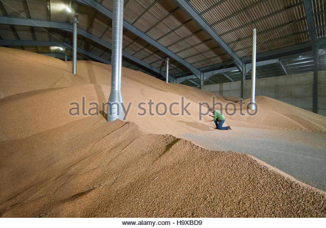 Farmer Checking Quality Of Wheat In Grain Store - Stock Image