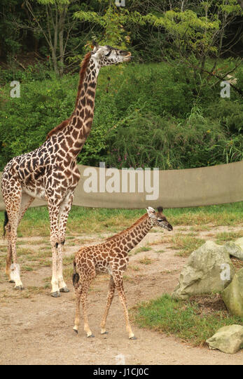 Masai Giraffe with babies at Cincinnat Zoo - Stock Image