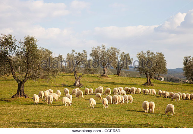 sheep,countryside,scansano,province of grosseto,tuscany,italy,europe - Stock Image