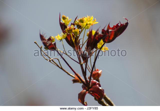 First leaves on the Maple tree, Acer platanoides 'Schwedleri' - Stock Image
