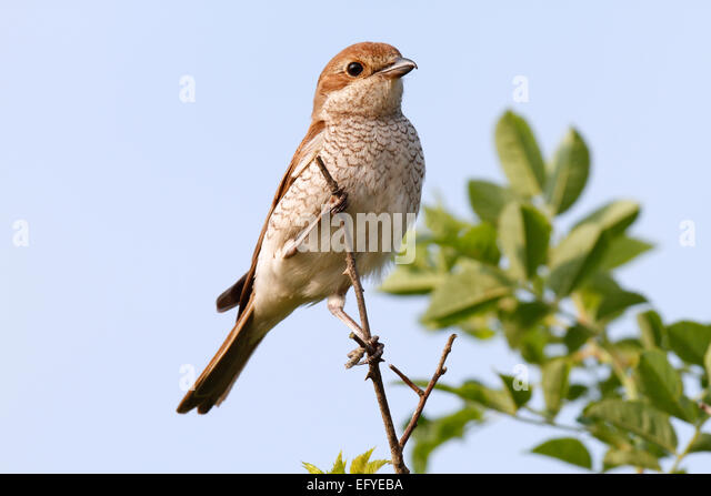 Red-backed Shrike (Lanius collurio), female on the perch, Middle Elbe Biosphere Reserve, Saxony-Anhalt, Germany - Stock Image