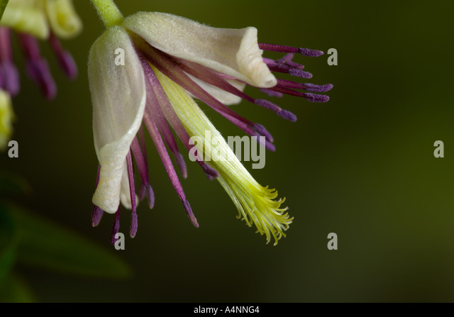 Clematis Napaulensis with nice defuse background potton bedfordshire - Stock Image