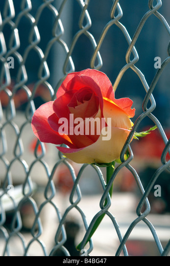 Single Rose at Ground Zero World Trade Center Twin Towers on September 11 2008 7th anniversary of the terrorist - Stock Image