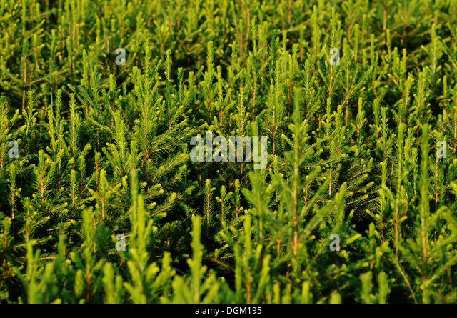 Silver Fir (Abies alba), tree planting, nursery, Tangstedt, Schleswig-Holstein, PublicGround - Stock Image