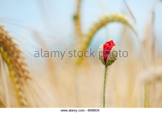 Papaver rhoeas. Field poppy emerging in amongst barley in a field in the English countryside - Stock Image
