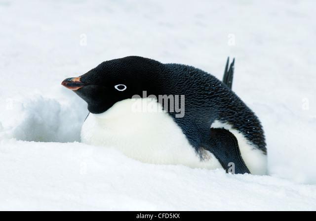 Adelie penguin (Pygoscelis adeliae) incubating, Antarctic Peninsula, Antarctica - Stock Image