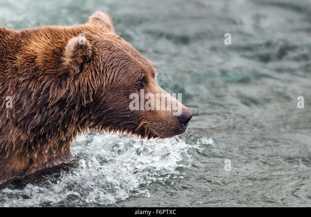 Coastal Brown Bear Fishing For Salmon - Stock Image
