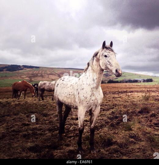 United Kingdom, Peak District, Horses grazing in field - Stock Image