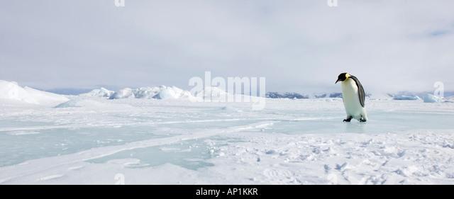 Emperor Penguin Aptenodytes fosteri travelling across sea ice of Weddell Sea near Snow Hill Island Antarctica November - Stock Image