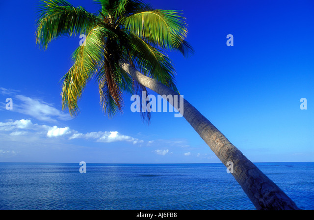 Coconut palm tree over ocean in Puerto Rico Caribbean - Stock Image