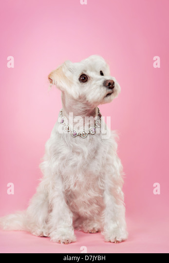 Maltese dog with silver necklace looking up against pink studio background. - Stock Image