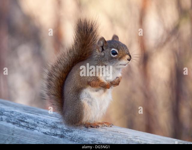 An American red squirrel (Tamiasciurus hudsonicus) at the Beaver Creek Conservation Area near Saskatoon, Saskatchewan, - Stock Image