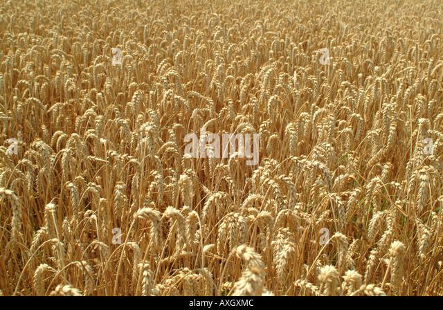 rye field Roggenfeld - Stock-Bilder