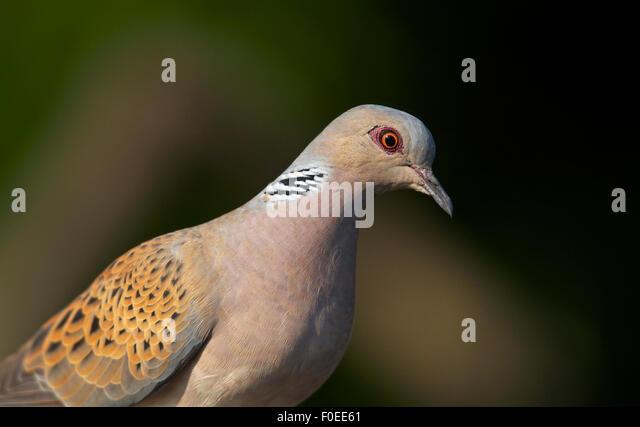 Turtle Dove (Streptopelia turtur) Pusztaszer, Hungary, May 2008 - Stock Image