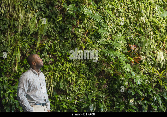 A man looking up at the lush foliage covering a tall wall. - Stock Image
