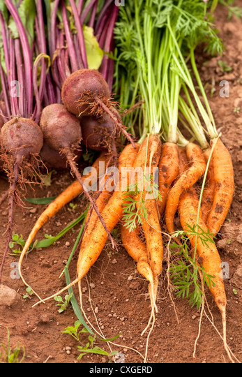 vegetable garden beets stock photos amp vegetable garden