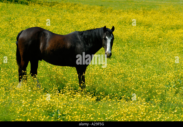 A black brown dark chesnut horse with a white face standing in field of many yellow buttercups - Stock Image