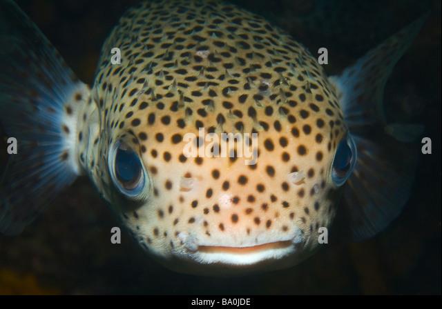 Striped belly puffer fish venenoso