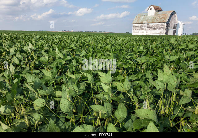 Illinois Tuscola crop barn rural agricultural agriculture farming farm harvester combine soybean - Stock Image