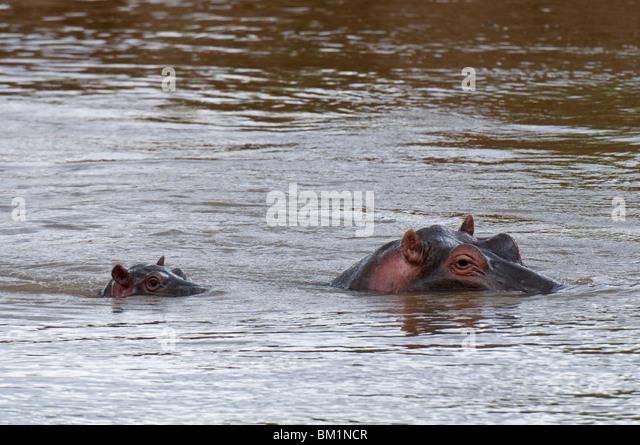 Adult and baby hippopotamuses, (Hippopotamus amphibius), Masai Mara National Reserve, Kenya, East Africa, Africa - Stock-Bilder