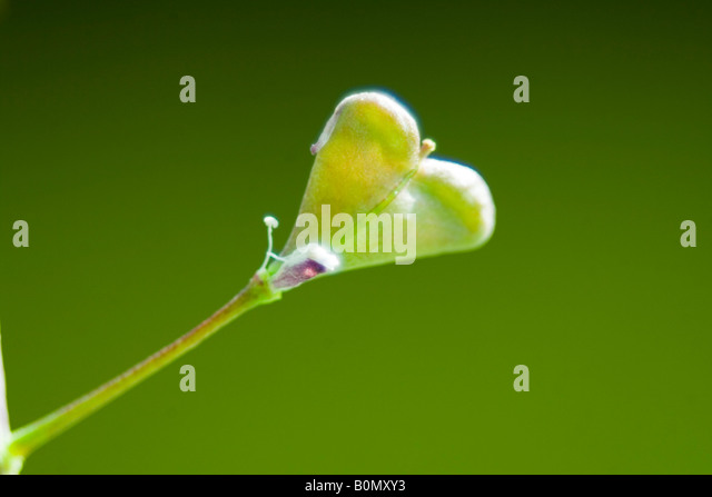 heart flower - Stock Image