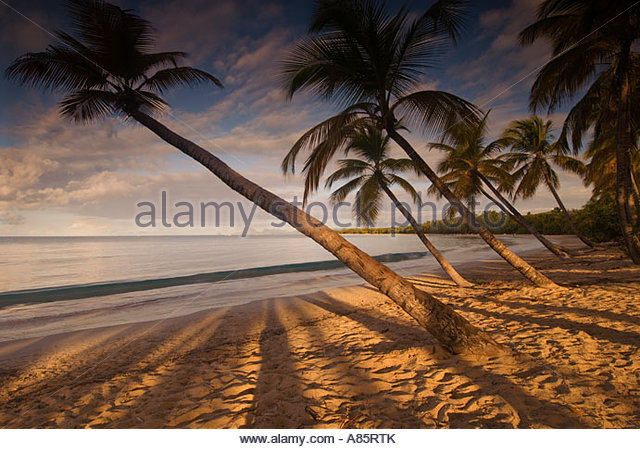 Palm trees cast their shadows across the beach at Grand Anse des Salines, Martinique, Windward Islands, Caribbean - Stock Image