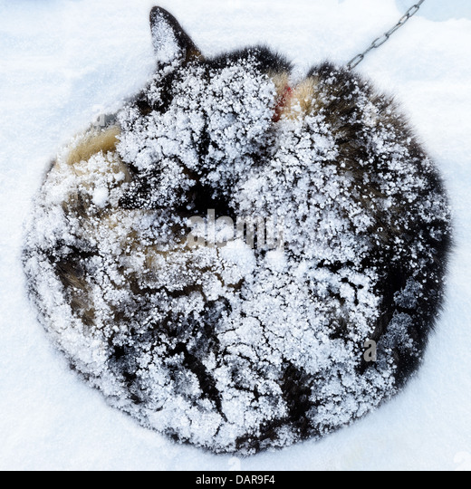 Siberian Husky covered in snow, Sweden - Stock Image