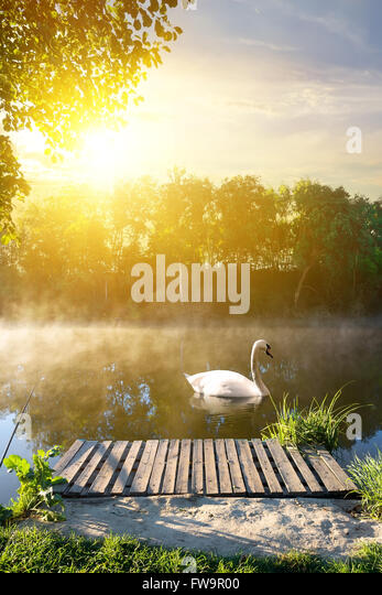 Swan in the morning near wooden bridge - Stock Image