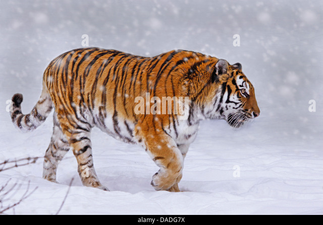 Siberian tiger, Amurian tiger (Panthera tigris altaica), walking through snow - Stock Image