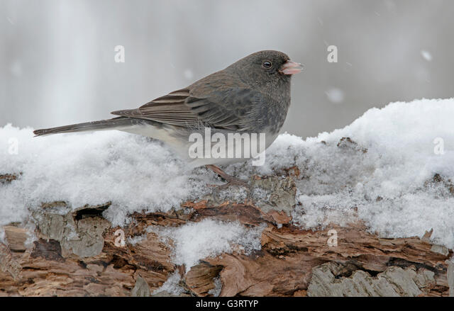 Slate-Colored or Dark-eyed Junco hyemalis, snowing, winter, Eastern USA - Stock Image