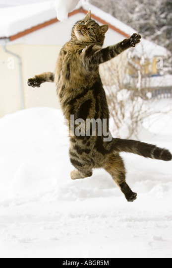 Cat jumping in snow, domestic cat, male, - Stock Image