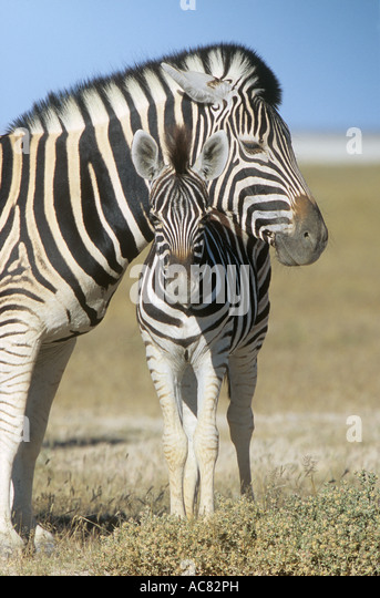 Burchell s zebra with foal Equus burchelli - Stock Image