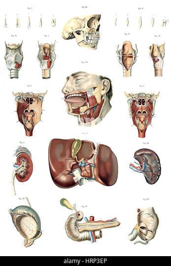 Du cut out stock images pictures alamy for Interieur du corps humain image