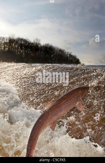 Wild Atlantic Salmon, Salmo salar leaping upstream at the Ettrick water cauld, Philiphaugh, Selkirk, Scotland, UK - Stock-Bilder