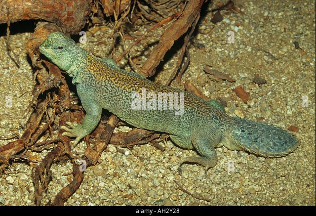Oman Spiny-tailed Agama / Uromastyx thomasi - Stock Image