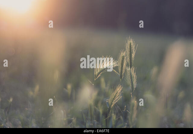 Italy, Emilia-Romagna, Bologna, Close up shot of mouse barley at sunset - Stock Image