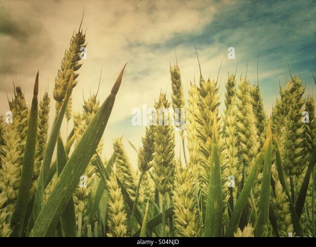 Cereal crop growing under a blue cloudy sky. - Stock Image