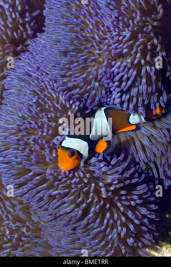 Clown anemonefish with blue variety of anemone.  Misool, Raja Ampat, West Papua, Indonesia. - Stock Image
