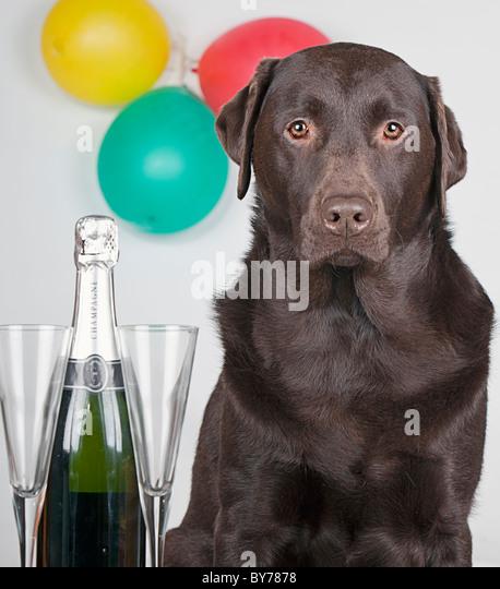 Party Animal Chocolate Labrador - Stock-Bilder