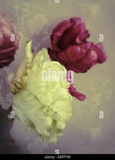 Close up of peonie flowers - Stock Image