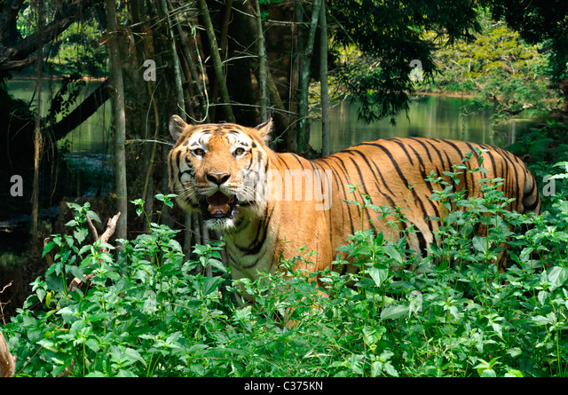 Indian Tiger - Stock Image