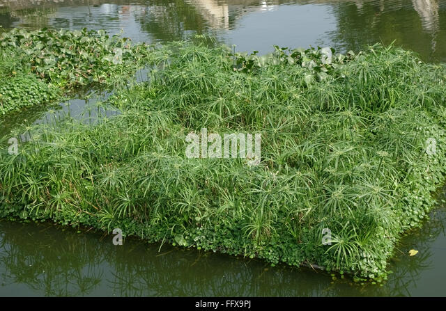 Floating islands of various plants anchored in a lake to attract wildlife, Hanoi, Vietnam, January, - Stock Image